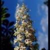 Bach virágeszencia fehér vadgesztenye 10 ml