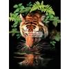 Szomjas tigris