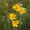 Árnikaolaj (Arnica montana) - 100 ml