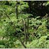 Moringa oleifera levél - a vitaminbomba - 100 gr