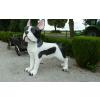 Kutya-Francia Bulldog/178cm