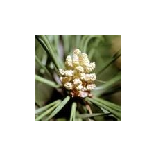 Bach virágeszencia erdeifenyő 10 ml gyógyhatású készítmény