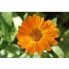 Farfalla - Calendula oil / Körömvirág olaj 75 ml