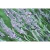 Farfalla - Speiklavendel, kbA, 5 ml  5