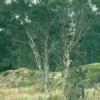 Farfalla - Teebaum, wkbA, 10 ml 10