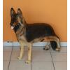 Kutya-Németjuhász-álló/79cm