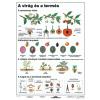 Stiefel A virág és a termés DUO